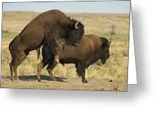 Bison Graze On The Wiedderick Ranch Greeting Card by Joel Sartore