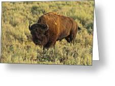Bison Greeting Card by Sebastian Musial