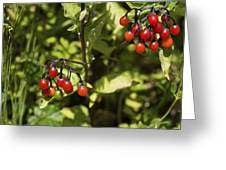 Bittersweet Berries (solanum Dulcamara) Greeting Card by Dr Keith Wheeler