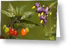 Bittersweet (solanum Dulcamara) Greeting Card by Bob Gibbons