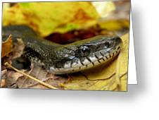 Black Rat Snake Greeting Card by Griffin Harris