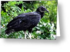 Black Vulture At The Everglades Greeting Card by Pravine Chester
