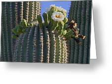 Blooming Saguaro   Sonora Desert Greeting Card by Nathan Mccreery
