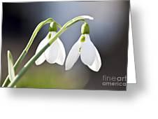 Blooming Snowdrops Greeting Card by Elena Elisseeva
