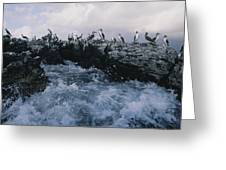 Blue-footed Boobies On A Rocky Greeting Card by Annie Griffiths