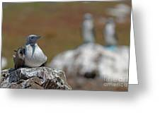 Blue-footed Booby  On Rock Greeting Card by Sami Sarkis