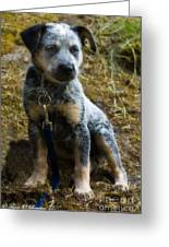 Blue Heeler Pup Greeting Card by Tyra  OBryant