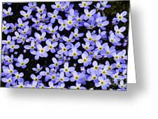 Bluets In Shade Greeting Card by Thomas R Fletcher