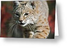 Bobcat Felis Rufus Greeting Card by David Ponton