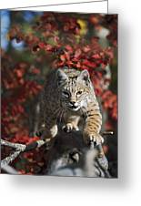 Bobcat Felis Rufus Walks Along Branch Greeting Card by David Ponton