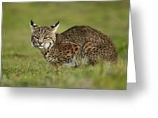 Bobcat Juvenile Santa Cruz California Greeting Card by Sebastian Kennerknecht
