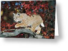 Bobcat Walks On Branch Through Hawthorn Greeting Card by David Ponton