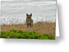 Bodega Bay Bobcat Greeting Card by Mitch Shindelbower