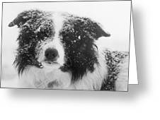 Border Collie Greeting Card by Carole  Martinez
