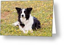 Border Collie in Field of Yellow Flowers Greeting Card by Michelle Wrighton