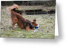 Border Collie Playing With Ball Greeting Card by Mark Taylor