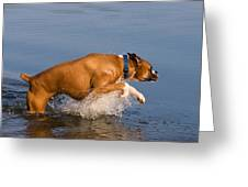 Boxer Playing in Water Greeting Card by Stephanie McDowell