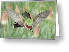 Broadtail Hummingbird Male And Red Hot Poker Greeting Card by Gregory Scott