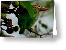 Brown-headed Barbet Greeting Card by Pravine Chester
