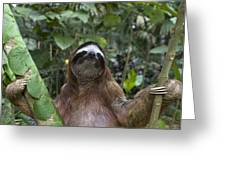 Brown Throated Three Toed Sloth Male Greeting Card by Suzi Eszterhas