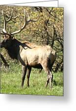 Bull Elk  Greeting Card by The Kepharts