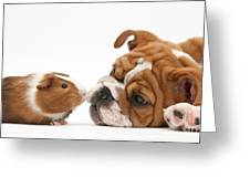 Bulldog Pup Face-to-face With Guinea Pig Greeting Card by Mark Taylor