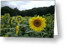 Buttonwoods Sunflowers Greeting Card by Jason Sawicki
