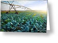 Cabbage Growth Greeting Card by Carlos Caetano