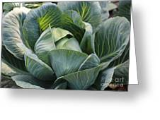 Cabbage In The Vegetable Garden Greeting Card by Carol Groenen