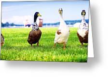 Calico Duck Quartet Greeting Card by Vicki Jauron