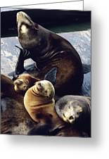 California Sea Lions Greeting Card by Alan Sirulnikoff