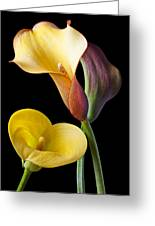 Calla Lilies Still Life Greeting Card by Garry Gay