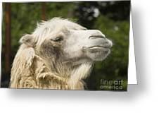 Camel Portrait Greeting Card by Odon Czintos