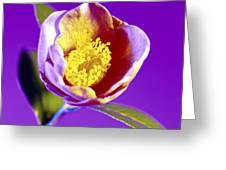 Camellia Flower (camellia Sp.) Greeting Card by Johnny Greig