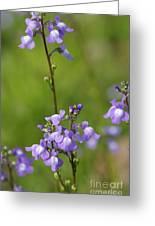 Canada Toadflax Greeting Card by Don Youngclaus