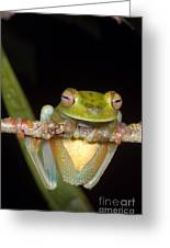 Canal Zone Tree Frog Greeting Card by Dante Fenolio