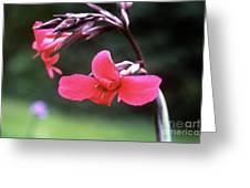 Canna Lily (canna X Ehemanii) Greeting Card by Adrian Thomas