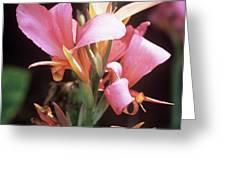 Canna Lily 'erebus' Greeting Card by Adrian Thomas
