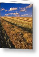 Canola Field, Tiger Hills, Manitoba Greeting Card by Dave Reede