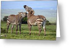 Cape Mountain Zebra Stallions Sparring Greeting Card by Peter Chadwick