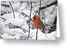 Cardinal Male 3669 Greeting Card by Michael Peychich
