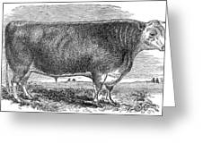 Cattle, C1880 Greeting Card by Granger