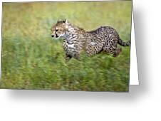 Cheetah Acinonyx Jubatus, Running Greeting Card by Carson Ganci