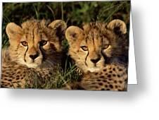 Cheetah Acinonyx Jubatus Two Cubs Greeting Card by Peter Blackwell