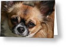 Chihuahua Eyes Greeting Card by Valia Bradshaw