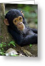 Chimpanzee Pan Troglodytes Baby Leaning Greeting Card by Ingo Arndt