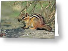 Chipmunk On A Warm Summer Evening Greeting Card by Inspired Nature Photography By Shelley Myke