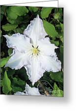 Clematis 'gladys Picard' Flower Greeting Card by Adrian Thomas