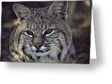 Close-up Of A Bobcat Greeting Card by Dr. Maurice G. Hornocker