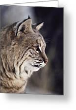 Close-up Of A Bobcat Felis Rufus Greeting Card by Dr. Maurice G. Hornocker
